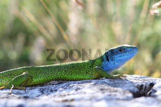 beautiful colored male european green lizard in mating season ( lacerta viridis )