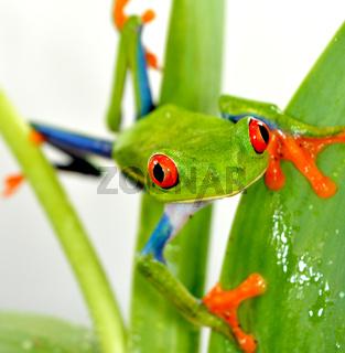 Red eye frog(agalychnis callidryas)