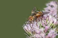 Tachina fly  'Tachina fera'