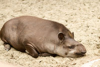 Lowland tapirs in natural environment. It is also known as Brazilian tapir or South American tapir.