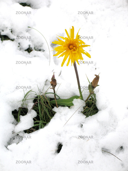 Arnica in the snow