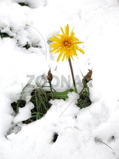 Arnika im Schnee