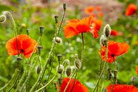 Red poppy flower on blurred bokeh background.