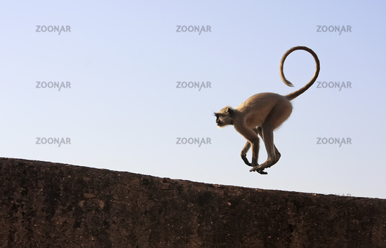 Gray langur playing at Taragarh fort, Bundi, Rajas