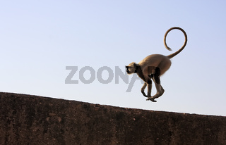 Gray langur playing at Taragarh fort, Bundi, India