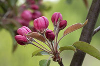 Apple tree branch with buds in sprin time. Spring Orchard.
