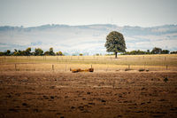 lonely tree in an Australian landscape scenery
