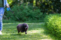 Black pomeranian spitz runs along the grass in park with its mistress.
