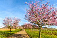 Almond blossom at the German Wine Route, Geilweilerhof, Siebeldingen, Rhineland-Palatinate, Germany