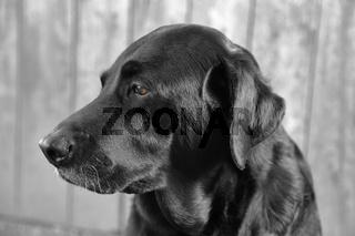 Porträt einer Labradorhündin