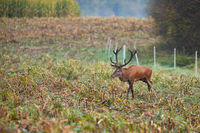 Red deer walking on corn stubble in autumn morning.