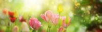 Tulpen mit vielen Farbtönen in hellem Sonnenlicht, Banner