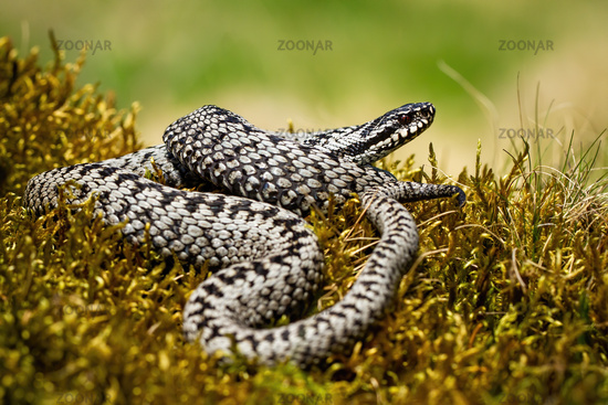 Dangerous common viper basking twisted on green moss in summer nature
