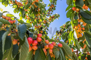 Juicy, ripe cherries on cherry tree