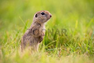 European ground squirrel standing on field in summer.