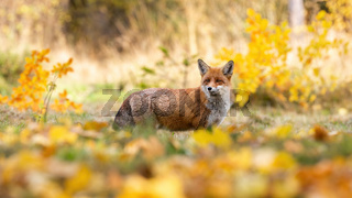 Red fox observing in colorful autumn nature from side