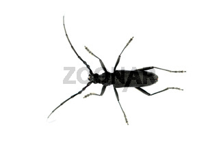 black long-horned beetle