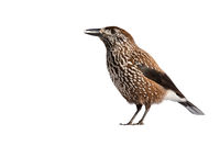 Spotted nutcracker standing in nature isolated on white background.
