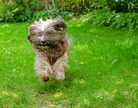 Tibetan Terrier running in the garden