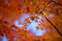 Autumn leaves vibrant red and orange background or banner