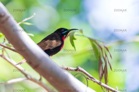 Scarlet-chested sunbird, Chalcomitra senegalensis, Ethiopia