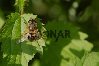 Scheinbienen-Keilfleckschwebfliege (Eristalis tenax)