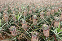 landscape of pineapple farm