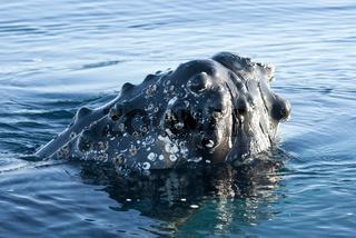 Humpback whale's head-2.