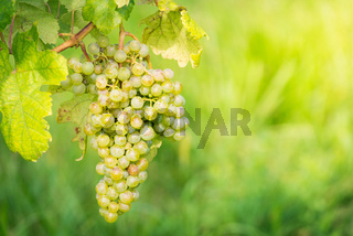 White grapes in a vineyard in Burgenland