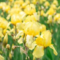 Flower yellow iris