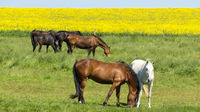 Horses on range land