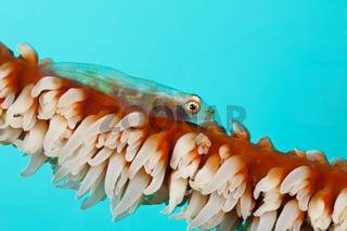 Peitschenkorallen-Zwerggrundel, Malediven