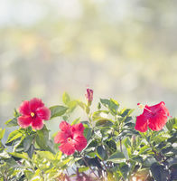 Blossom of Red Hibiscus Flowers