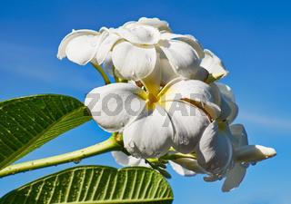 Frangipani - plumeria flower