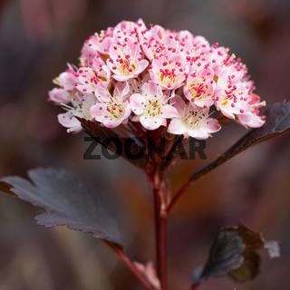 Common ninebark, Physocarpus opulifolius