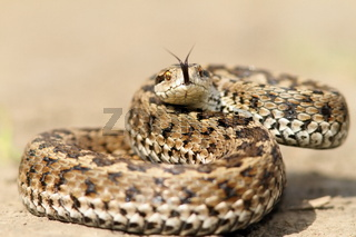 meadow viper ( Vipera ursinii rakosiensis ) ready to strike