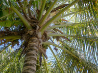 Aufblick zu einer Palme / Looking up at a palm tree