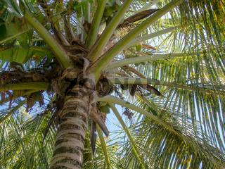 Aufblick zu einer Palme / Looking up at a palm tree