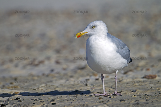 European Herring Gull adult bird on the Danish North Sea coast