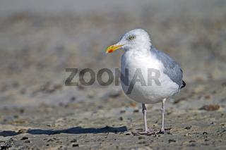 Silbermoewe Altvogel im Winterkleid an der Daenischen Nordseekueste