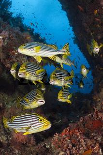 Orientalische Suesslippe, Malediven