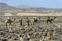 Afar Nomaden führen eine Dromedar-Karawane durch eine Steinwüste auf der Wanderung in der Danakil Depression