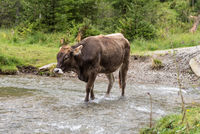brown cow goes through a stream - cattle