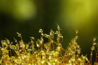 Close up haircap moss with water drops the rain
