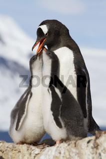 Gentoo Penguin female feeding l two chicks