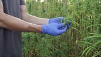 close up video of a professional male researcher working in a hemp field, checking plants and doing a quality control with medicinal gloves