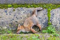 Dead Fox along the road