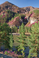 Rhododendron dauricum bushes with flowers (popular names bagulnik, maralnik) with altai river Katun and mountains on background.