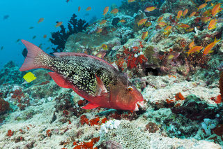 Nasenhoecker-Papageifisch, Malediven