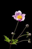 Studio-Nahaufnahme eines Blüten-Stängels mit mehreren geschlossenen Knospen der Herbst-Anemone (lat: